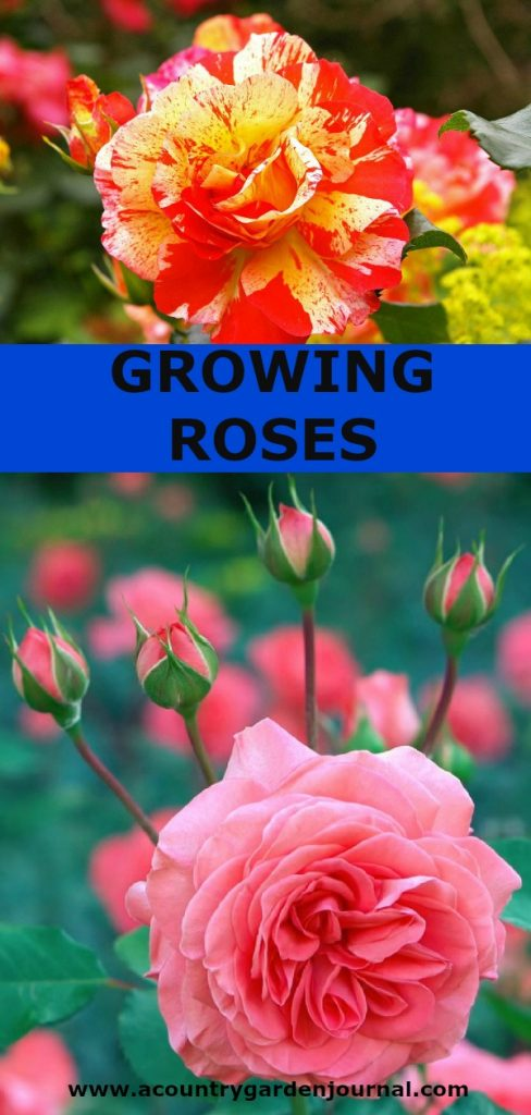 GROWING ROSES, A COUNTRY GARDEN JOURNAL