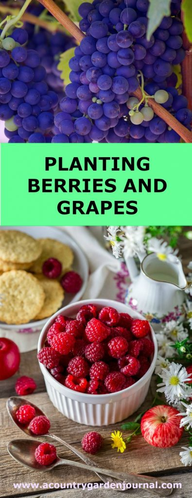 PLANTING BERRIES AND GRAPES, A COUNTRY GARDEN JOURNAL