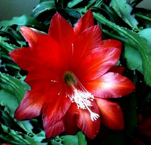 Red Christmas Cactus, Close-Up Photo