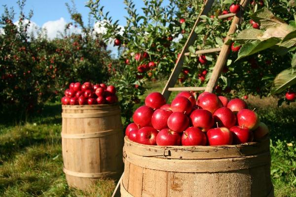 Apples in Barrels