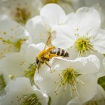 White Blossoms and Bee