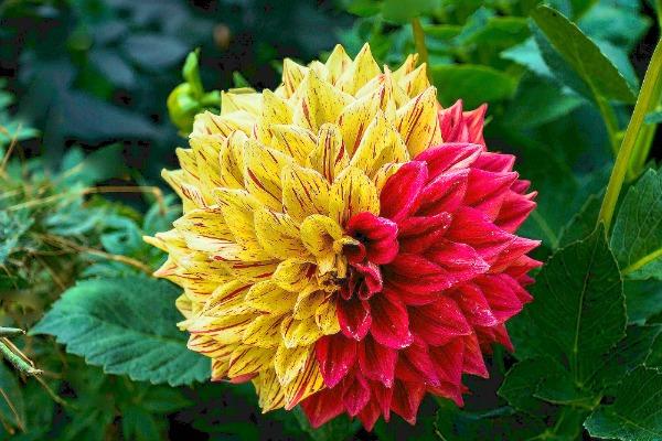 Bicolor Dahlia