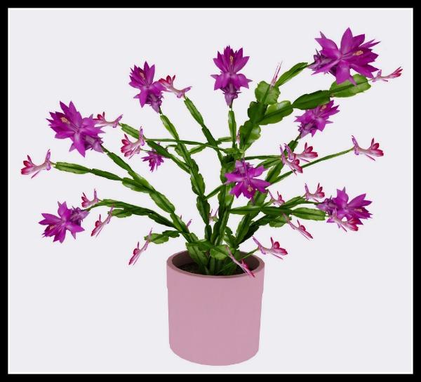 Christmas Cactus Purple