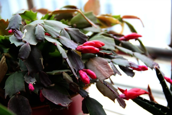 Christmas Cactus Rose Pink