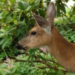 KEEP DEER FROM DAMAGING YOUR ORCHARD