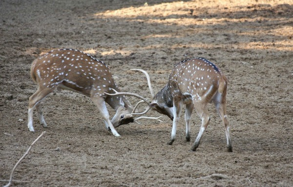 Deer Fighting