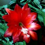 HOW TO GROW CHRISTMAS CACTUS