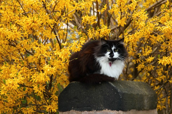 Forsythia and Cat