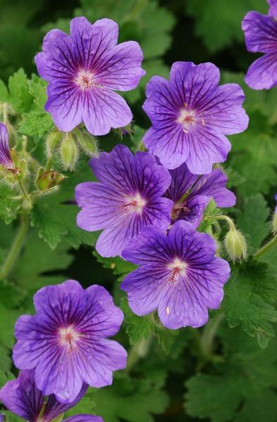 Geranium, Perennial