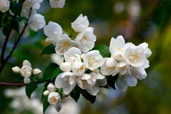 Mock Orange Bush