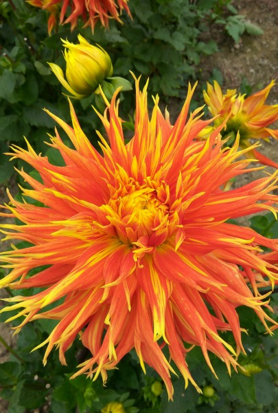 Orange Yellow Dahlia