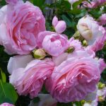 CHOOSING ROSES FOR YOUR GARDEN