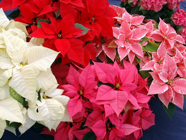 POINSETTIA FOUR COLORS