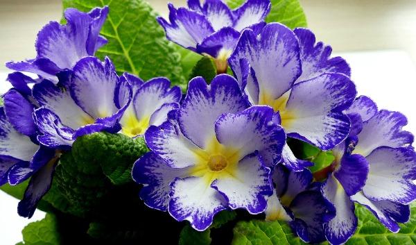 Primrose, Blue