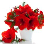 HOW TO GROW CHRISTMAS AMARYLLIS