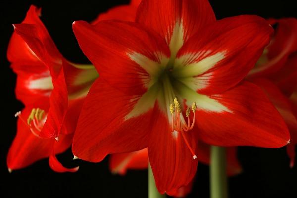 RED & WHITE AMARYLLIS