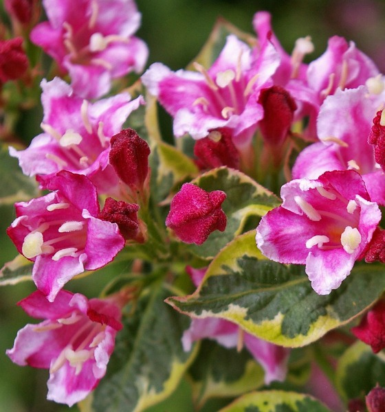 Weigela Bush