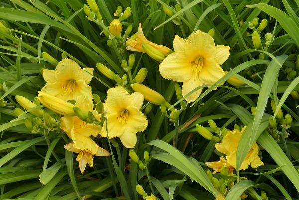 Yellow Daylily Plant