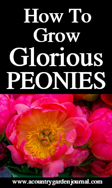 HOW TO GROW GLORIOUS PEONIES, A COUNTRY GARDEN JOURNAL