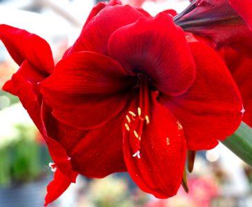 Closeup Of Scarlet Amaryllis
