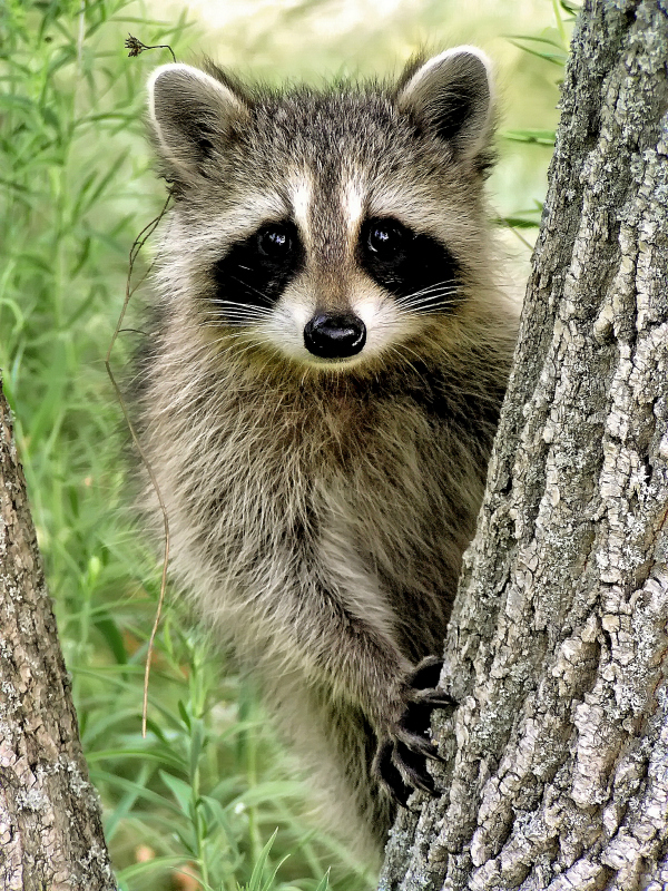 Raccoon Climbing A Tree