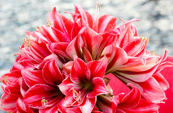 Closeup of Red and White Striped Amaryllis Bouquet