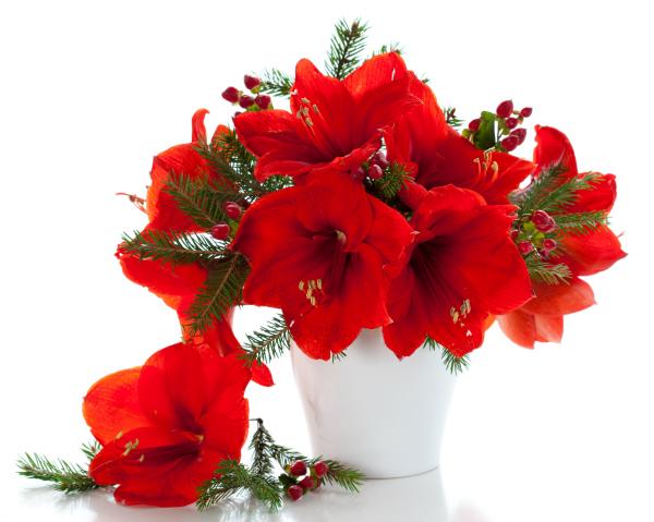 Red Amaryllis in White Vase