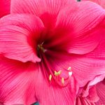AMARYLLIS BLOOMS CHRISTMAS TO EASTER