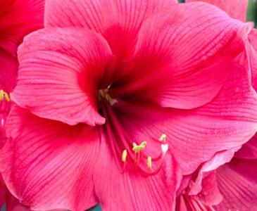 Closeup of Bright Pink Amaryllis