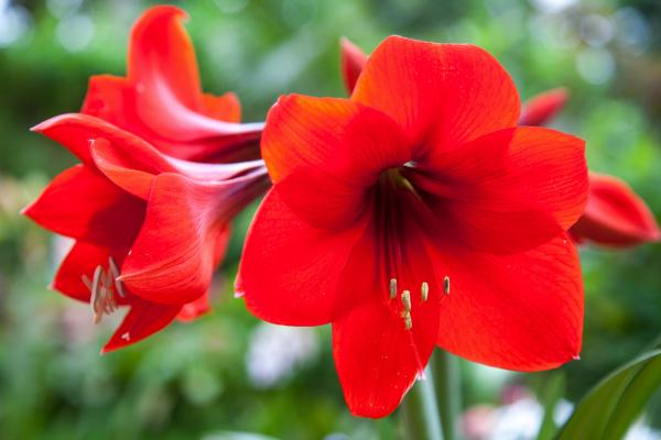 Closeup of Red Amaryllis in Garden