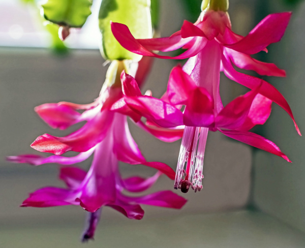 Closeup of two Pink Christmas Cactus Flowers