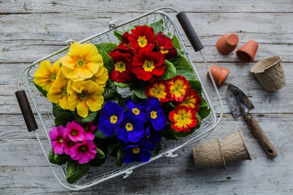 Primroses and Gardening Tools
