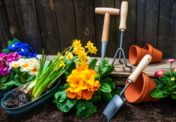 Daffodils, Primroses, and Garden Tools