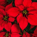 HOW TO GROW CHRISTMAS POINSETTIAS