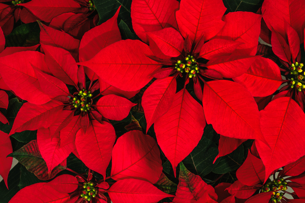 Closeup of Bright Red Poinsettia Plant