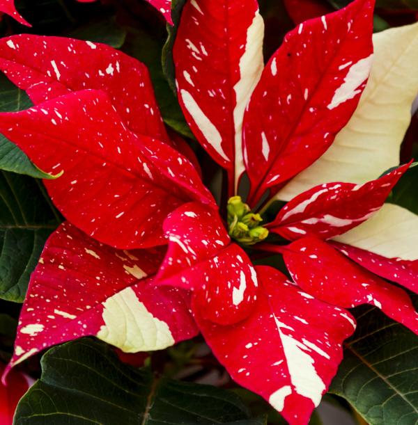 Closeup of Red and White Speckled Poinsettia